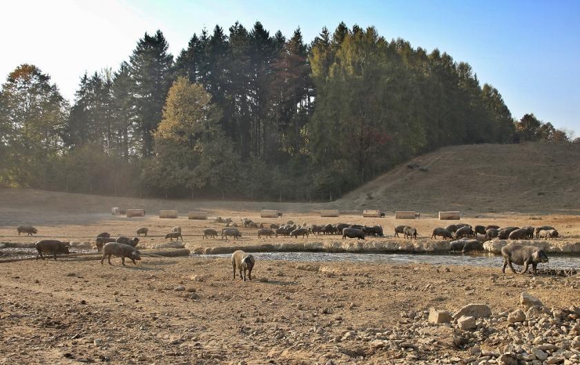 Crna slavonska svinja - autohtona hrvatska pasmina svinja